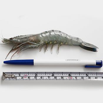 嚴選藍海越南鮮草蝦5盒14~16入(300g+-5%/盒)