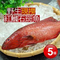 【築地一番鮮】峇里島野生紅鰷石斑魚5條(250±50g/條)免運組