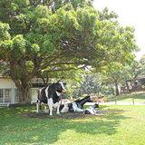 【苗栗】飛牛牧場-單人入園全票+彩繪肥牛DIY(四張入)