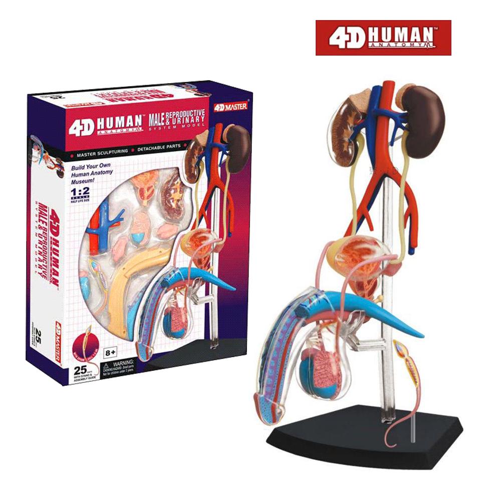 ~4D MASTER~ ~ 人體透視 ~ 男性生殖系統