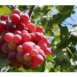 【果之蔬】加州紅地球甜葡萄(5斤±10%/盒)
